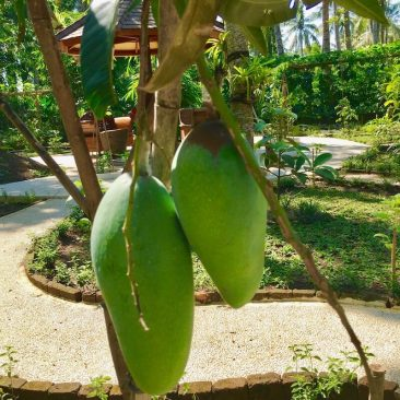 The first mango at our Bali fruit garden.